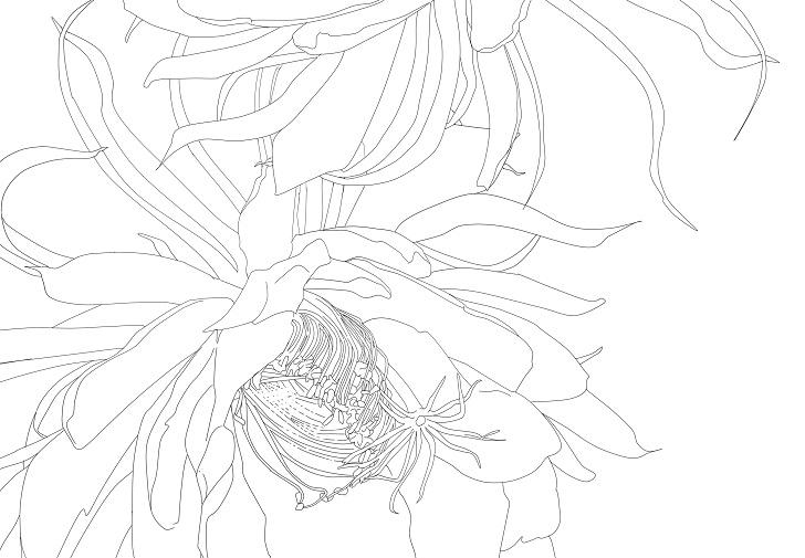 【夏の花】月下美人の花の無料イラスト大人の塗り絵フリー素材