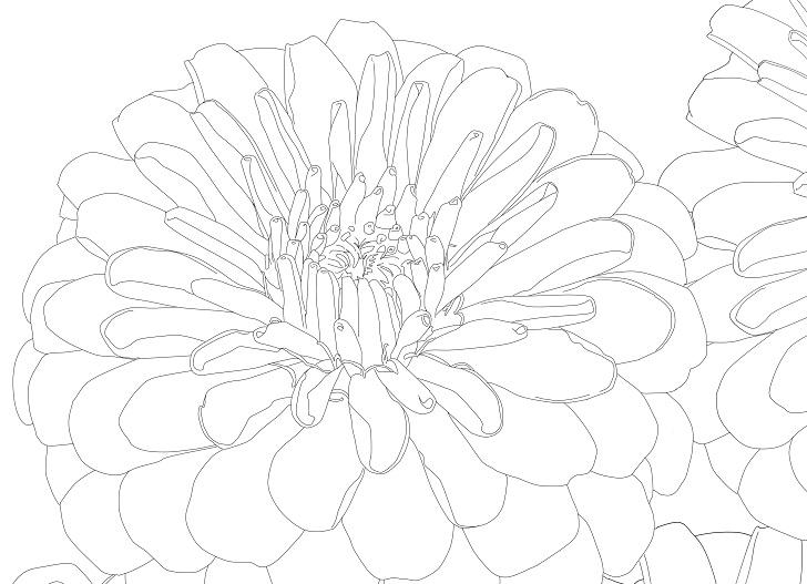【夏の花】百日草(ジニア)の大人の塗り絵&無料イラスト素材